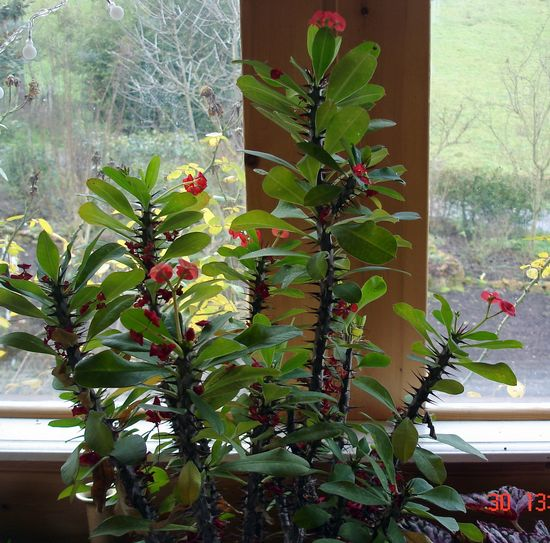 les fleurs d'intérieur pendant l'hiver Euphor10