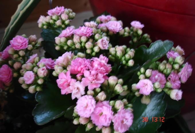 les fleurs d'intérieur pendant l'hiver Kalanc10