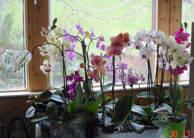 Cymbidium....... saison 2011/2012 Orchid10