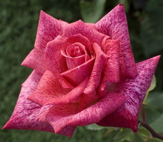 Rosa Pierre Cardin Rosier10