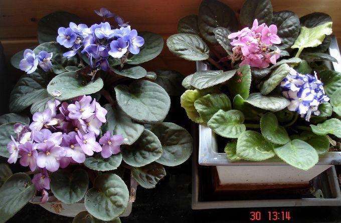 les fleurs d'intérieur pendant l'hiver Saintp10