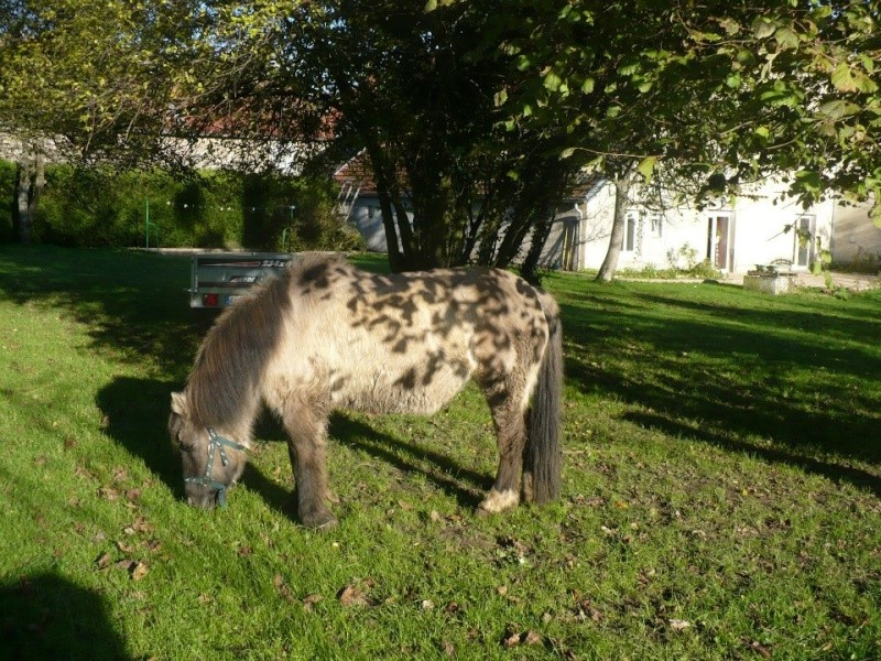 BISCOTTE -  ONC Poney née en 1983 - Protégée GPLV Biscot11