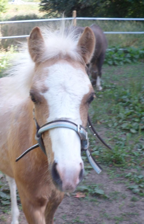 CHUMANI - ONC Poney né en 2012 - adopté en juillet 2014 par fandecox Chuman10
