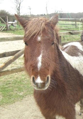 INDIANA - ONC poney typée shetland présumée née en 2000 - adoptée en juillet 2013 Indian10