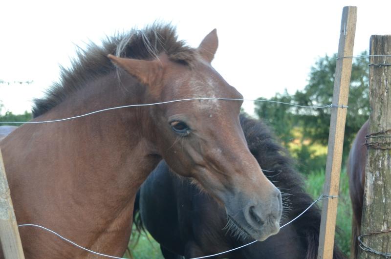 NOISETTE - ONC poney typée shetland née en 2000 - adoptée en juillet 2013 par Patrick  Noiset10