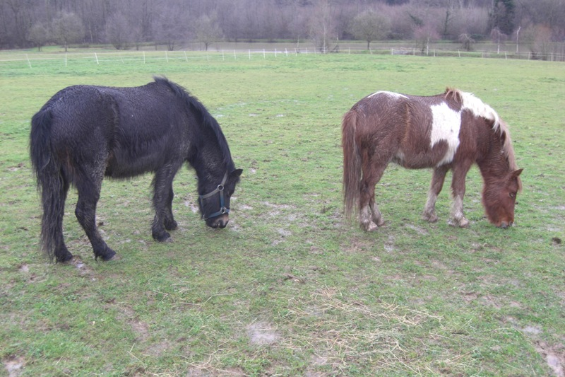 PRUNELLE - ONC poney typée shetland présumée née en 2000 - adoptée en août 2013 par Céline Prunel14
