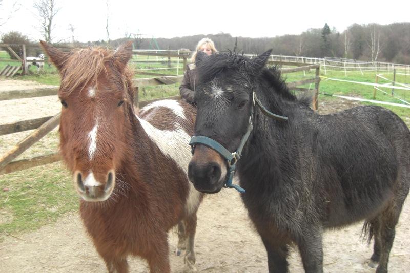 PRUNELLE - ONC poney typée shetland présumée née en 2000 - adoptée en août 2013 par Céline Prunel15
