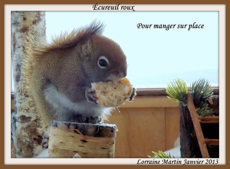 Écureuils roux qui part avec tout  Dscf1617