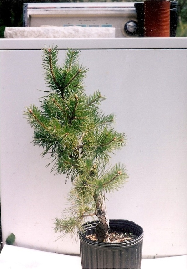 Scots Pine Progression Scan0011