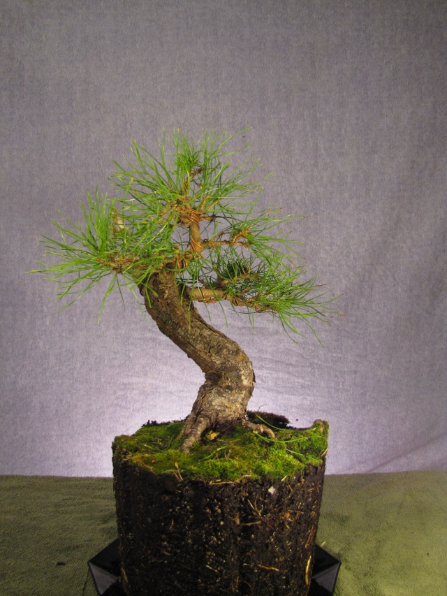 Scots Pine Progression Sho_sc11