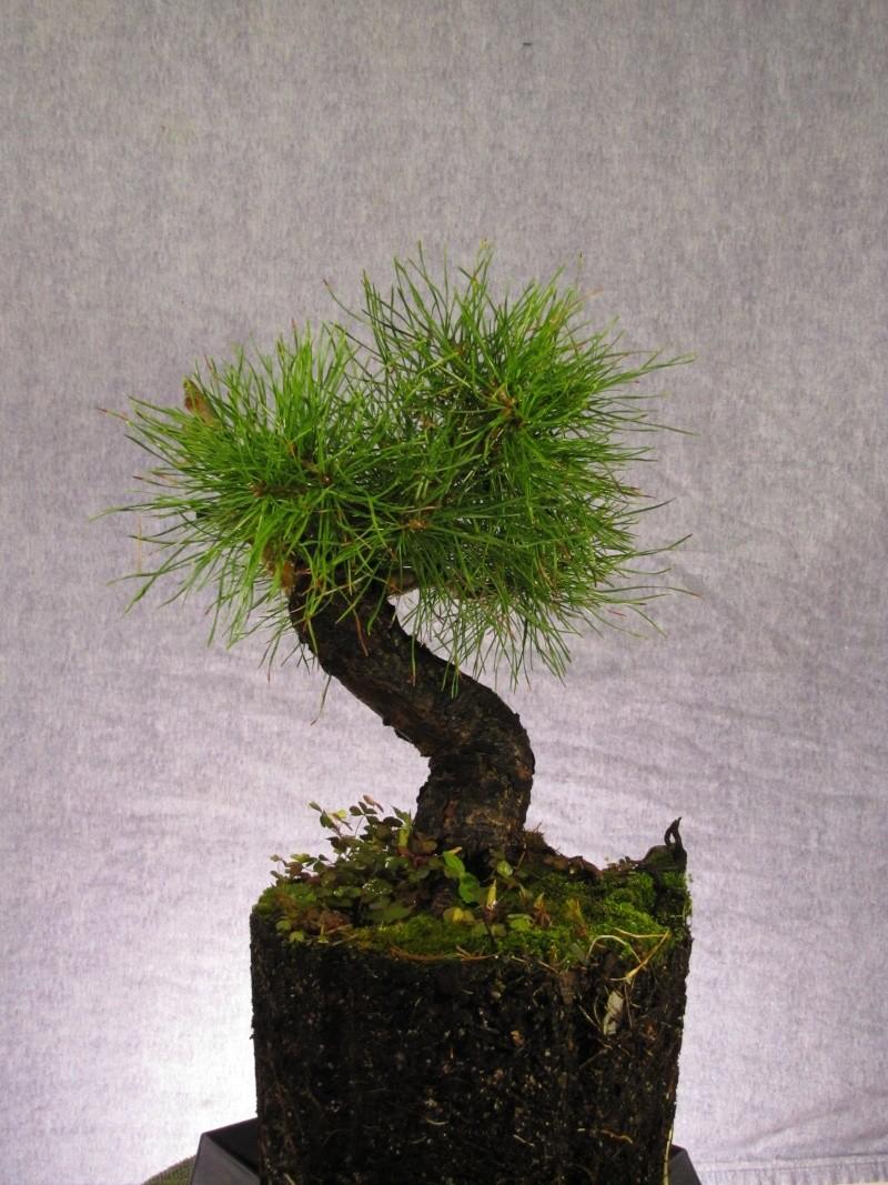 Scots Pine Progression Sho_sc12