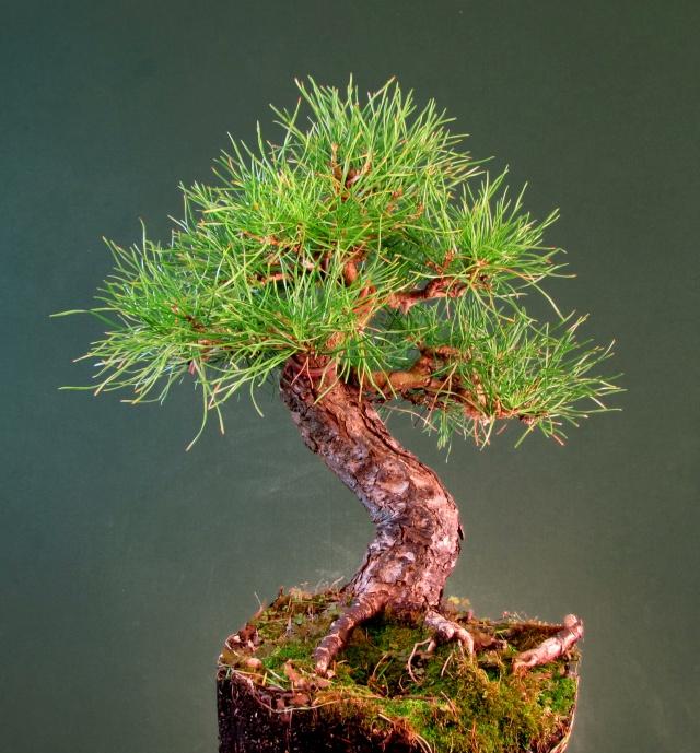 Scots Pine Progression Sho_sc14