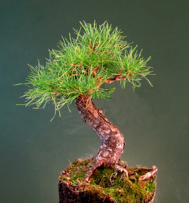 Scots Pine Progression Sho_sc15