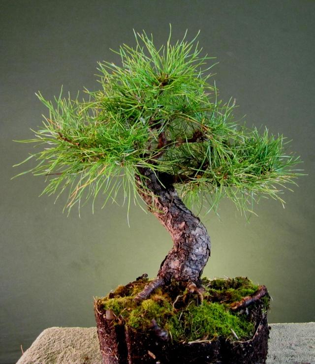 Scots Pine Progression Sho_sc16
