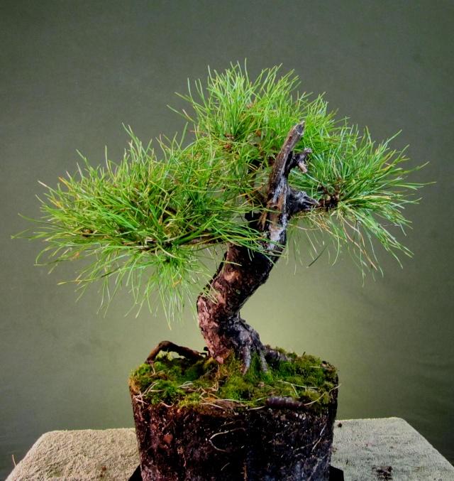 Scots Pine Progression Sho_sc17