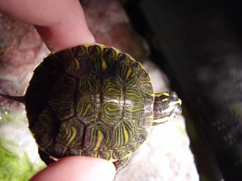 j'ai une petite tortue de floride qui ne vas pas bien 27027611