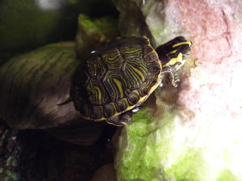 j'ai une petite tortue de floride qui ne vas pas bien 28286510