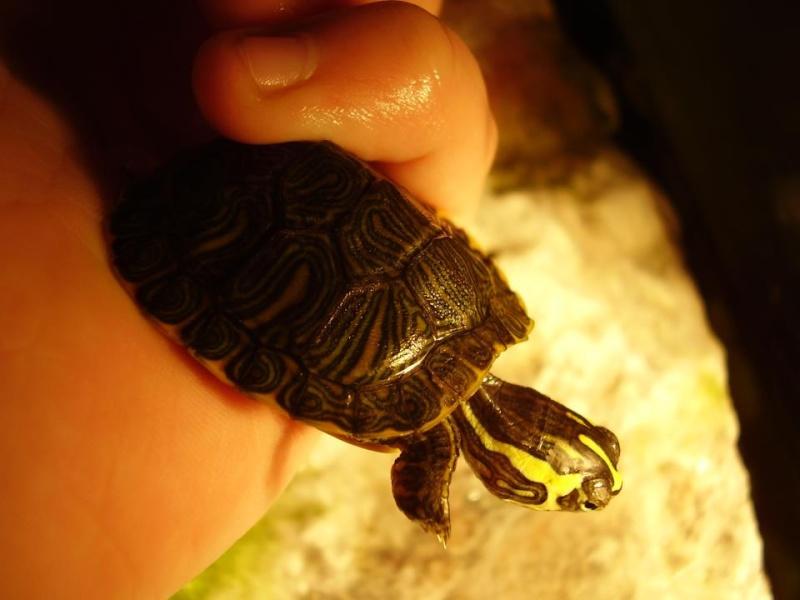 j'ai une petite tortue de floride qui ne vas pas bien 60337311