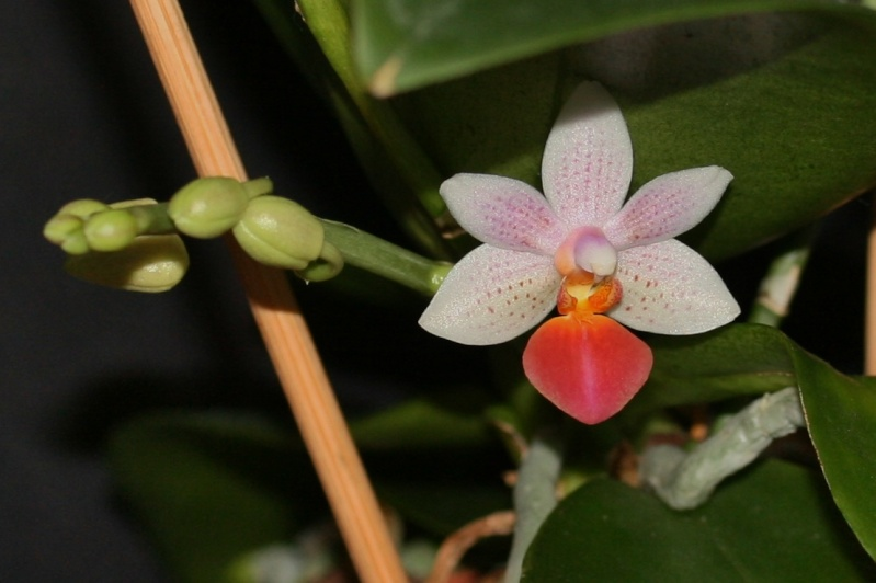 Phalaenopsis Fantasy Musick! Img_1214