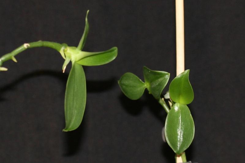 Phalaenopsis Fantasy Musick! Img_1216