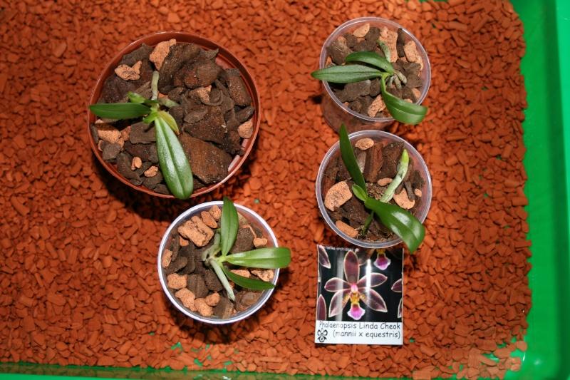 Phalaenopsis Hybrid Sämlinge  - Seite 2 Linda_10