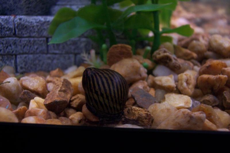 Tiger/Zebra Snails 1snail12