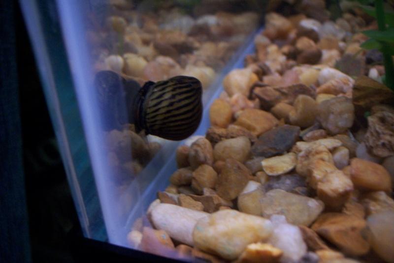 Tiger/Zebra Snails 1snail13