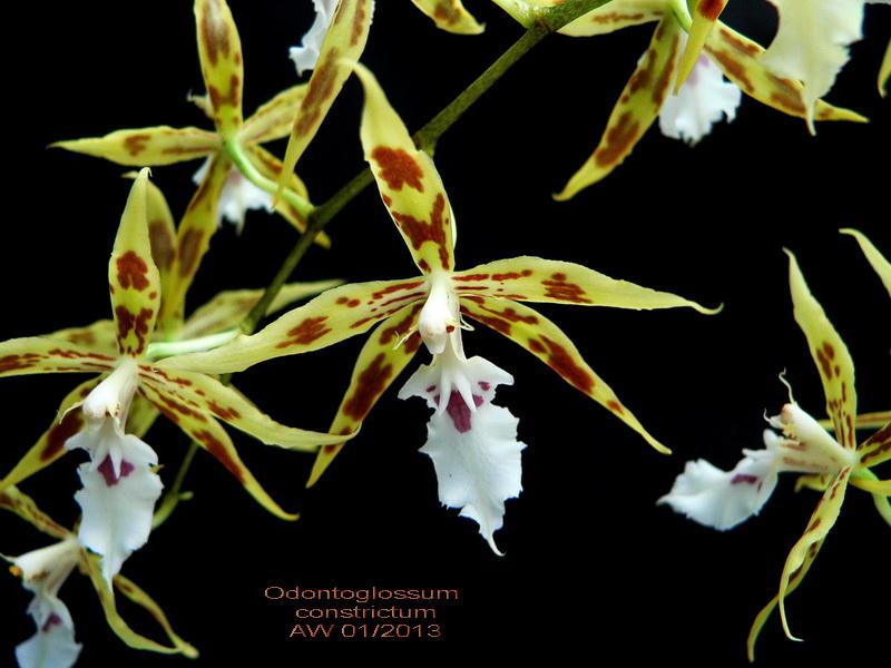 Odontoglossum constrictum Odonto10