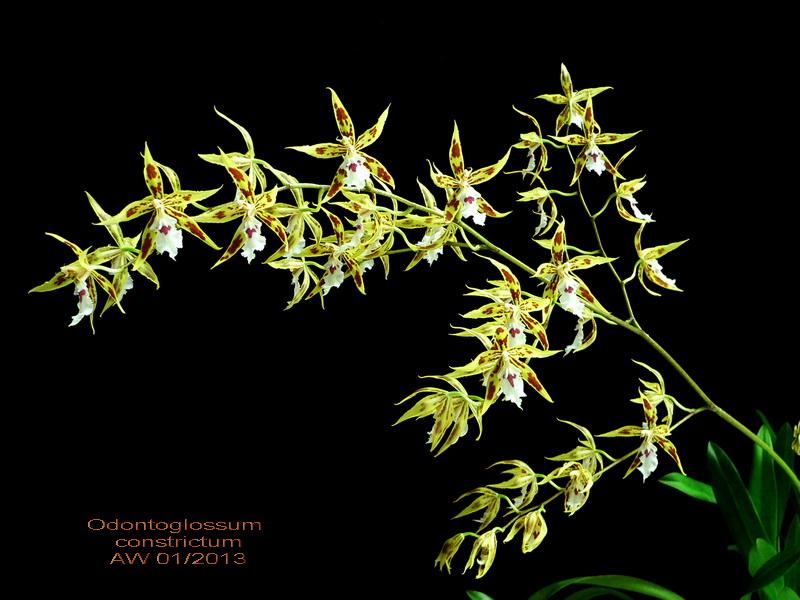 Odontoglossum constrictum Odonto11