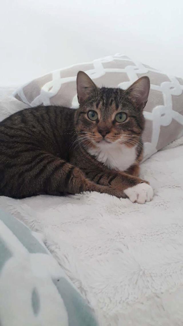 Olco, adorable tabby et blanc, né en mars 2017 Receiv29