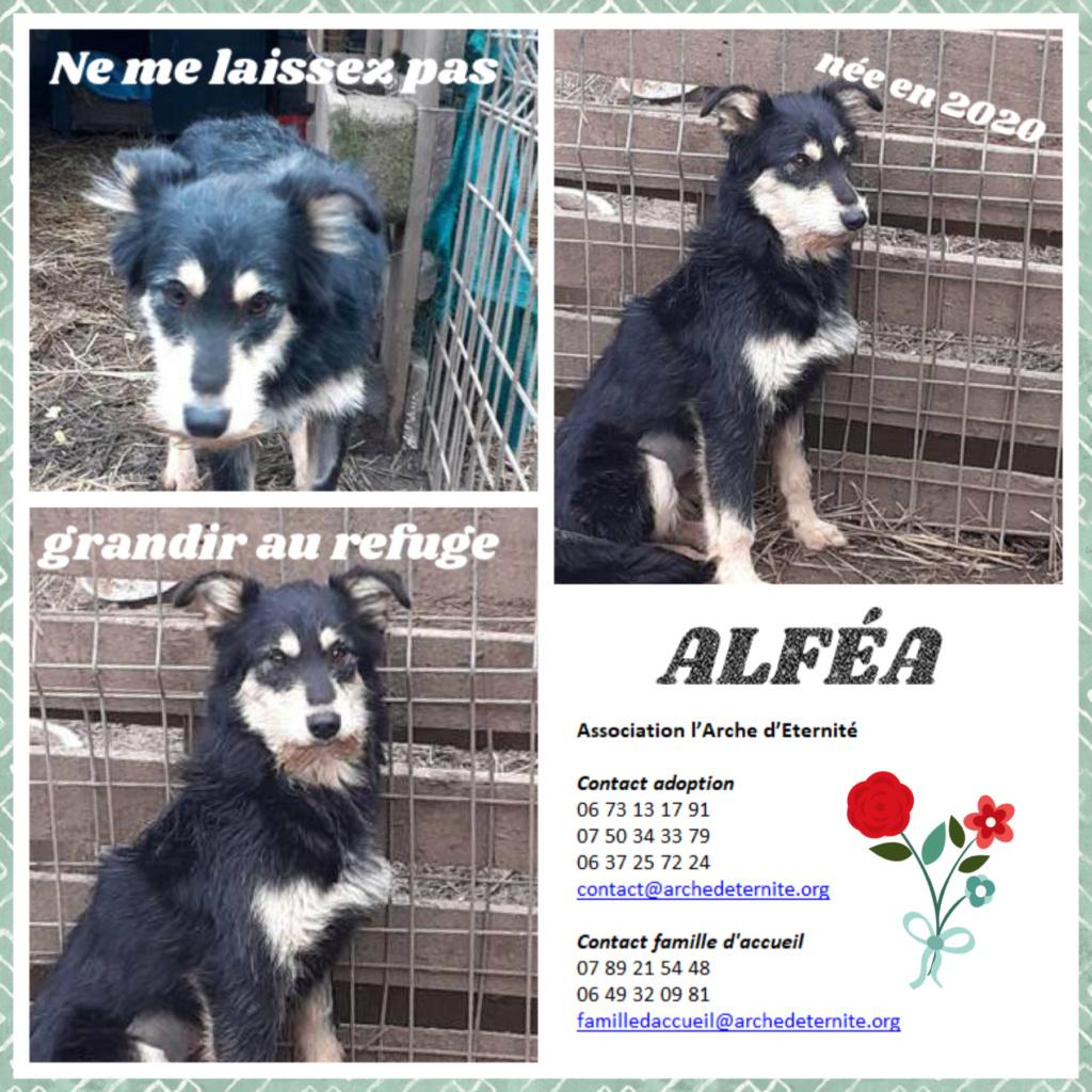 ALFEA - ALFEA, femelle, née en 02/2020, taille moyenne, en FA dans le 95, sortie d'un équarrissage- parrainée par Dash2504 - -R-SC-SOS Alfea10