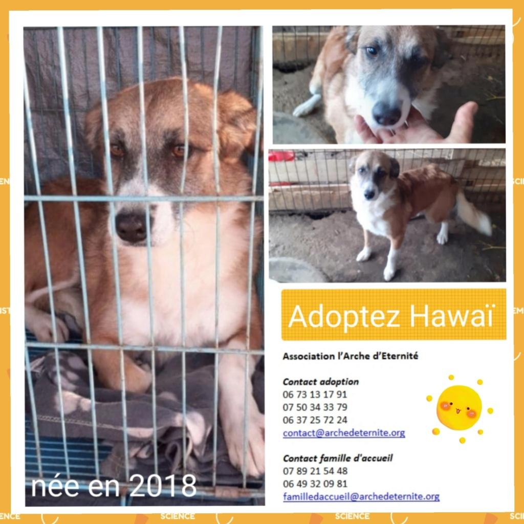 HAWAI, née en 2014, taille moyenne, SORTIE LE 23/11/2020 DE BRAGADIRU-R-SOS-SC Hawai10
