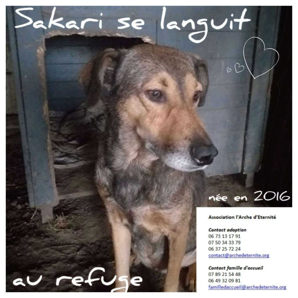 Sakari - SAKARI, femelle née en 2016 -FAISAIT PARTIE DES 13 VENANT D'UN AUTRE REFUGE- Parrainée par Célia78-R-SOS-SC Sakari10