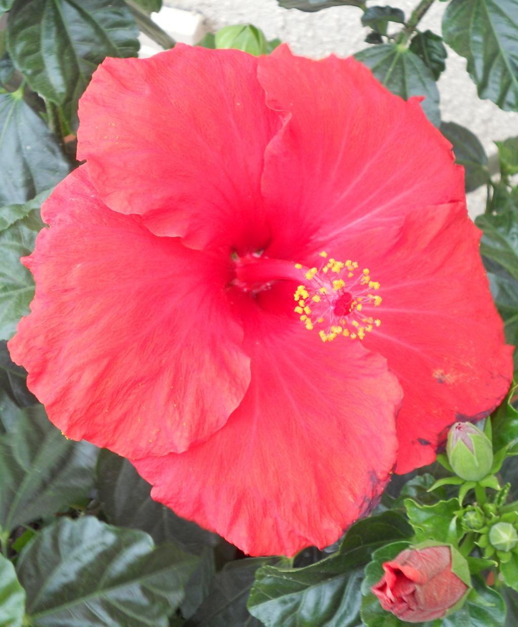hibiscus Dscn0216