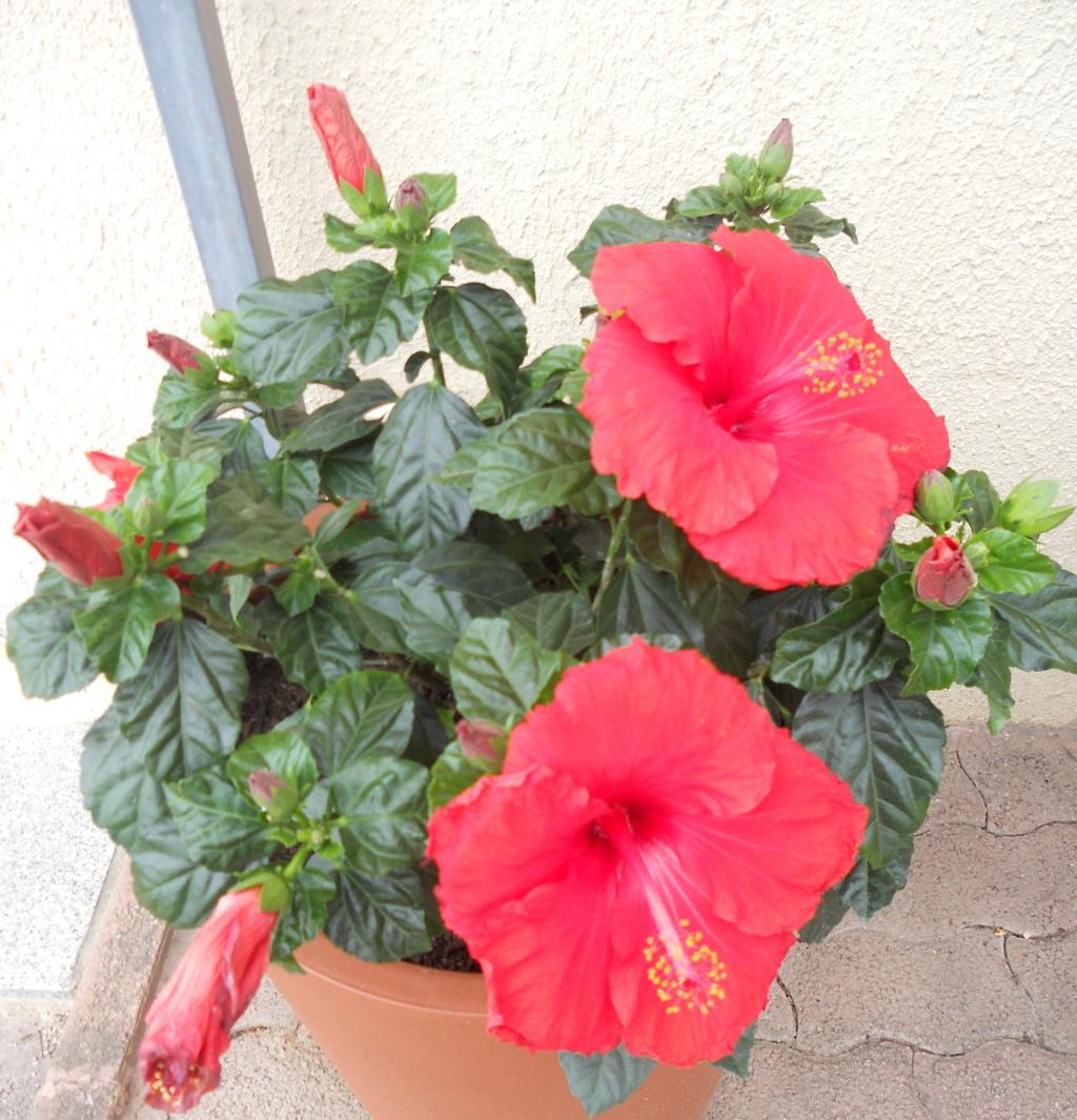 hibiscus Dscn0217