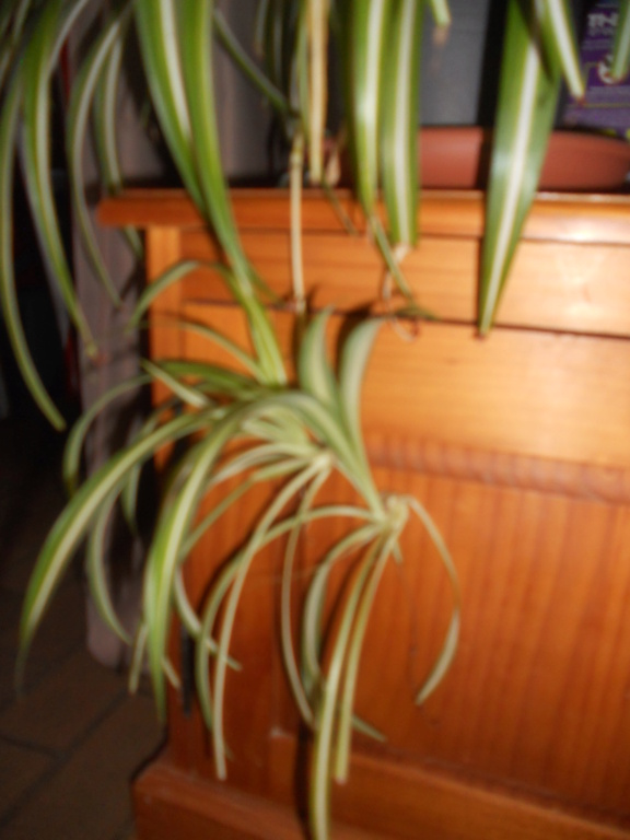 Floraison Chlorophytum Dscn0512