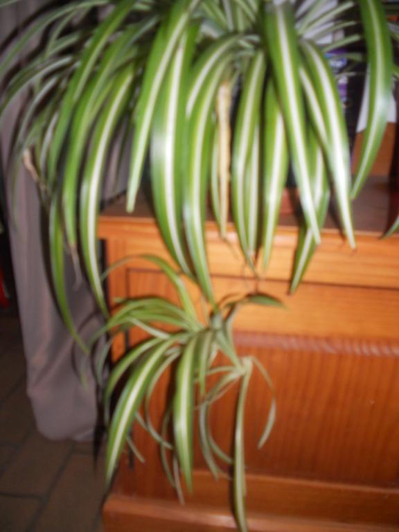 Floraison Chlorophytum Dscn0513