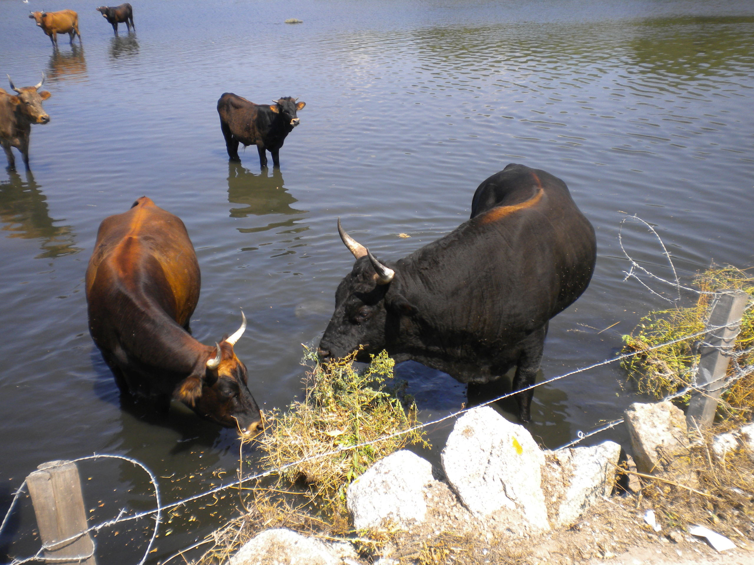 piscine pour vaches!!!! Dscn4520