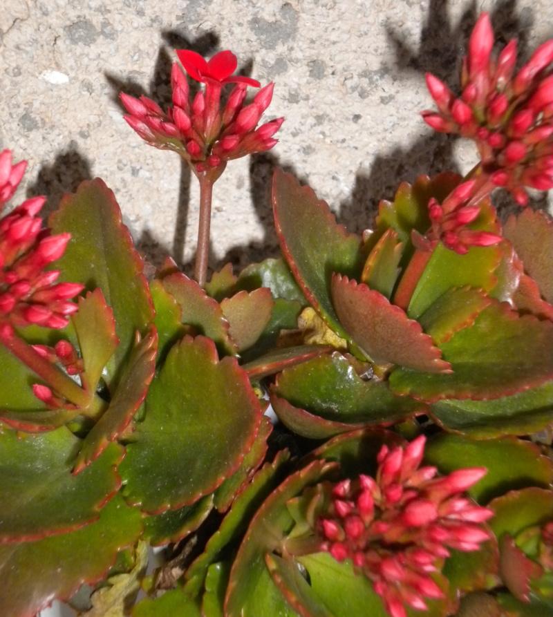 fleurs du jardin  Dscn5645