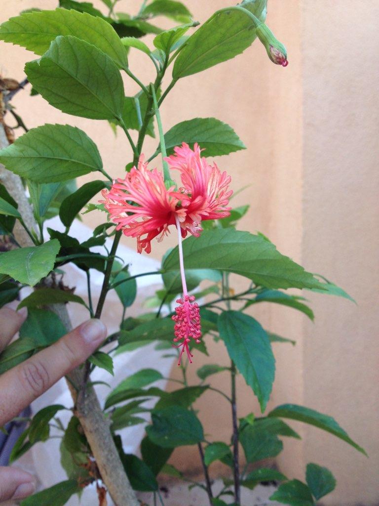 hibiscus E0db3510