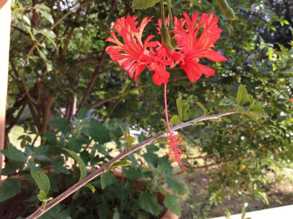 hibiscus E5035110