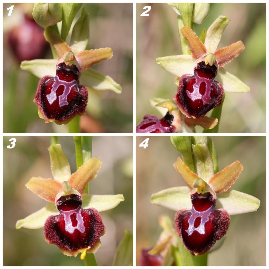 Population d'Ophrys de la plaine des Maures Id10