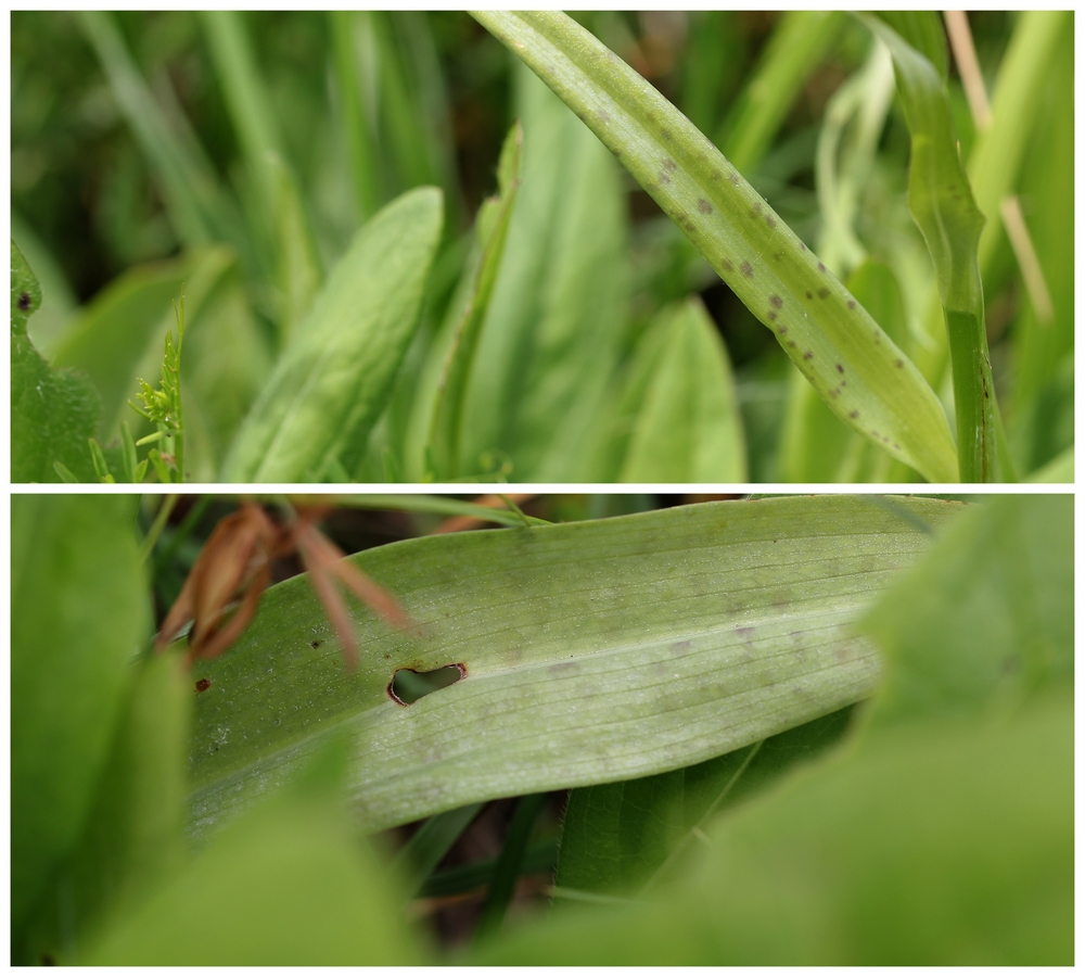 Hybride Dactylorhiza ? Id410