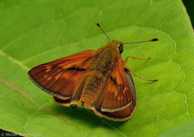Identification papillon orange P1530210