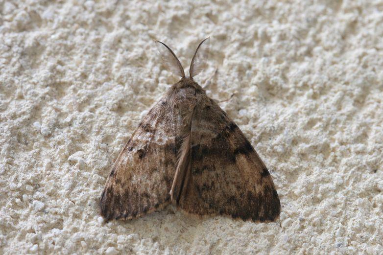 Hétérocère à identifier 2 : Lymantria dispar 06_hzo10