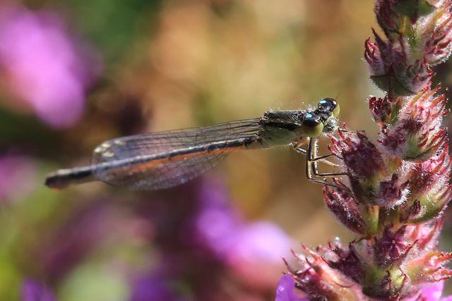 Odonate pour identification [Ischnura elegans] 578_co10