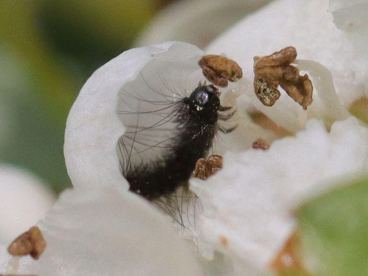 chenille dans fleur aubépine à identifier 701_0210