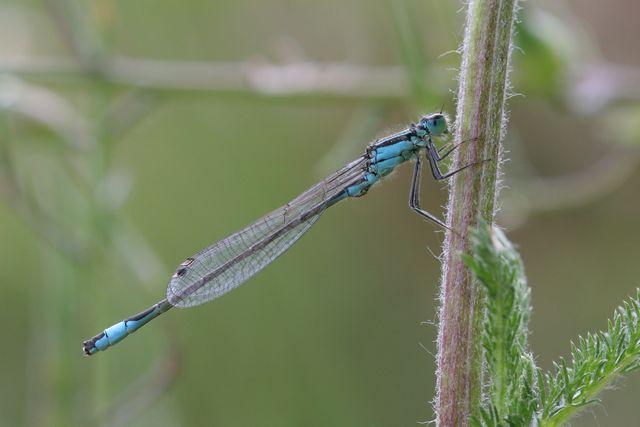 Odonates pour identification [Ischnura elegans] [Enallagma cyathigerum] Agrion10