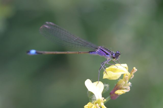 Odonates pour identification [Ischnura elegans] [Enallagma cyathigerum] Agrion11