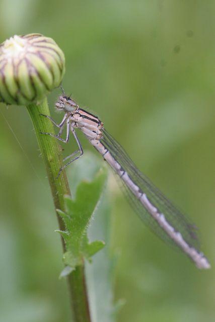 Odonates pour identification [Ischnura elegans] [Enallagma cyathigerum] Odonat13